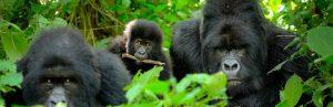 Gorilla Trekking safari tours in Uganda & Rwanda - Natural World Kenya Safaris-Best African safari tours in East Africa-www.naturaltoursandsafaris.com